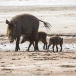 Familia de porci barbosi