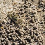 Aranjament facut de acest crab in timpul escavarii nisipului