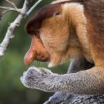 Maimuta Proboscis, specie endemica