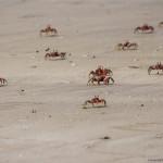 O armata de crabi rosiatici