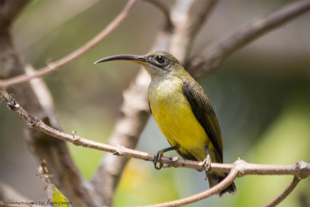 Un fel de colibri